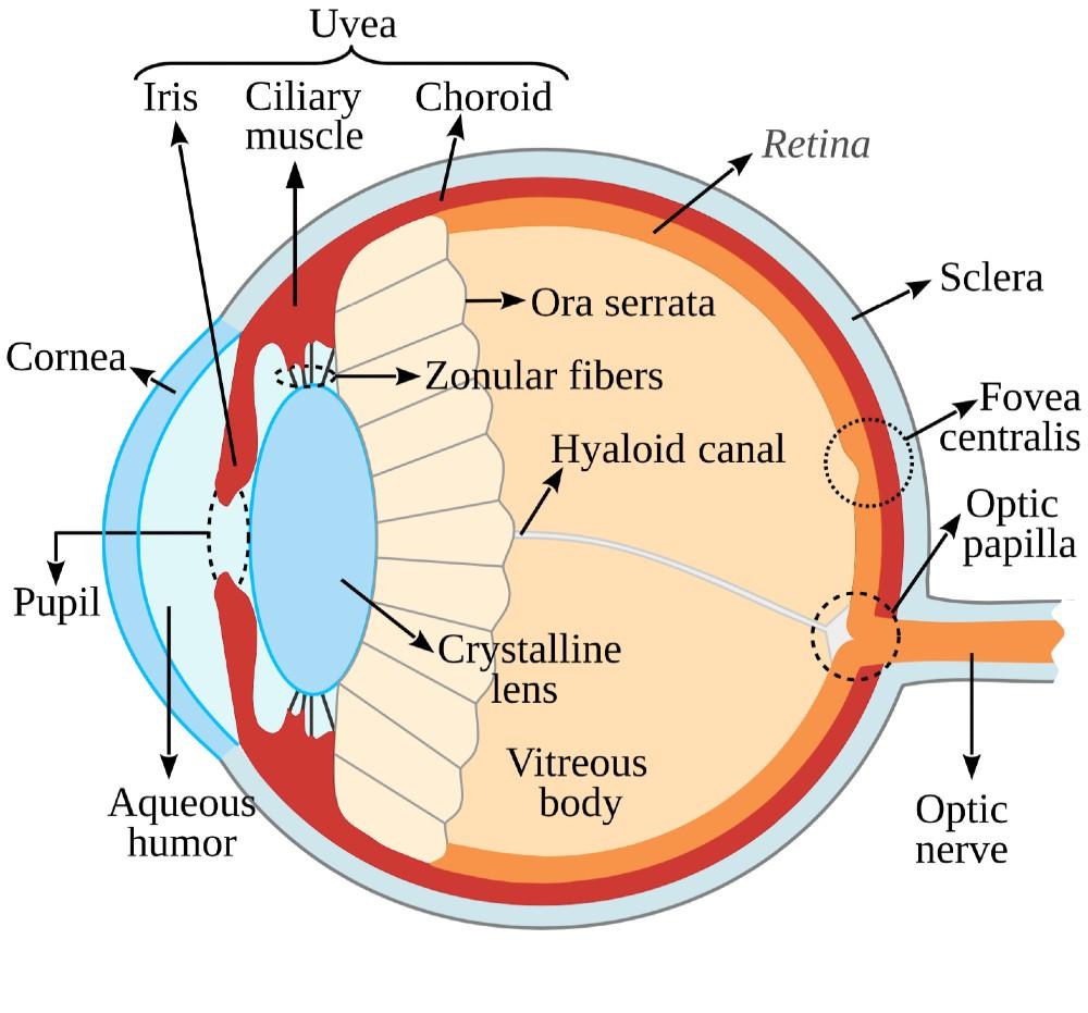 diagram of uvea eye